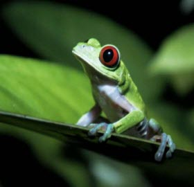 rainforest_frog