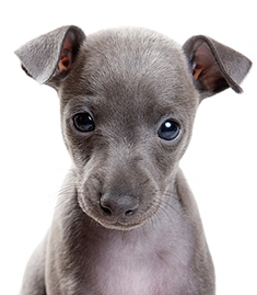 greyhound_puppy